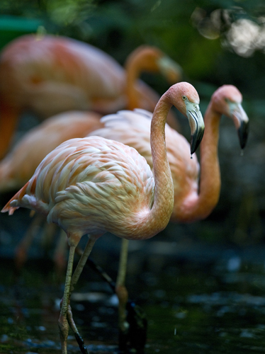 A group of Pink flamingos at the aviary El Nido.