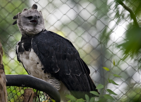 A female Harpy eagle at the aviary El Nido.