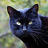 Halloween Black Cat Pictures