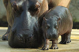 Standing only about three feet at the shoulder, the adult pygmy hippopotamus still weighs 400 to 600 pounds!