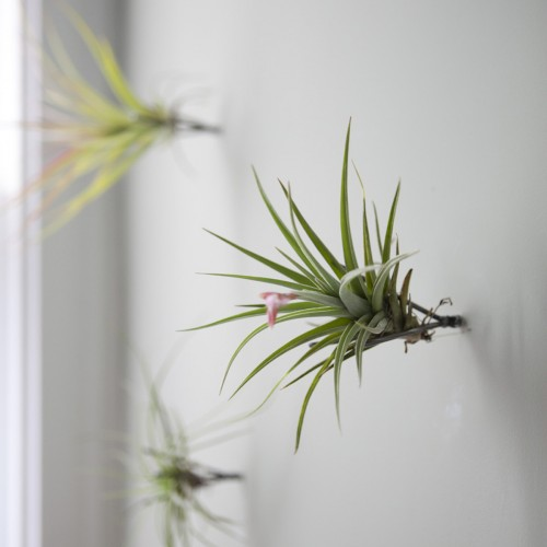 The Thigmotrope Satellite Fleet ($40 for a set of three) are minimalist tools used to create indoor vertical gardens on your wall. Just screw them into your wall and mount tillandsia air plants (not included) to create a cool living art installation.