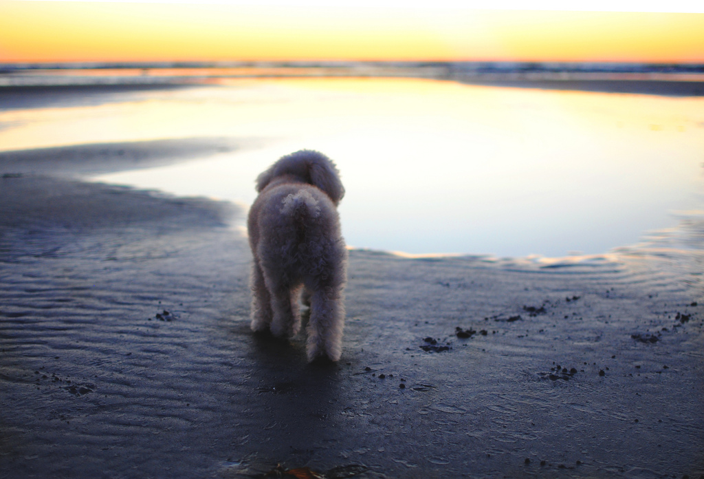 This curly-cued pup takes a look at the wide horizon. Maltipoos are playful dogs, and they will love a good run around outside and love to play games. Source: Flickr User MITCHELL