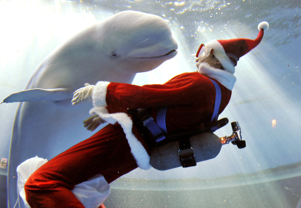 Everyone, including belugas, loves a visit from Santa.