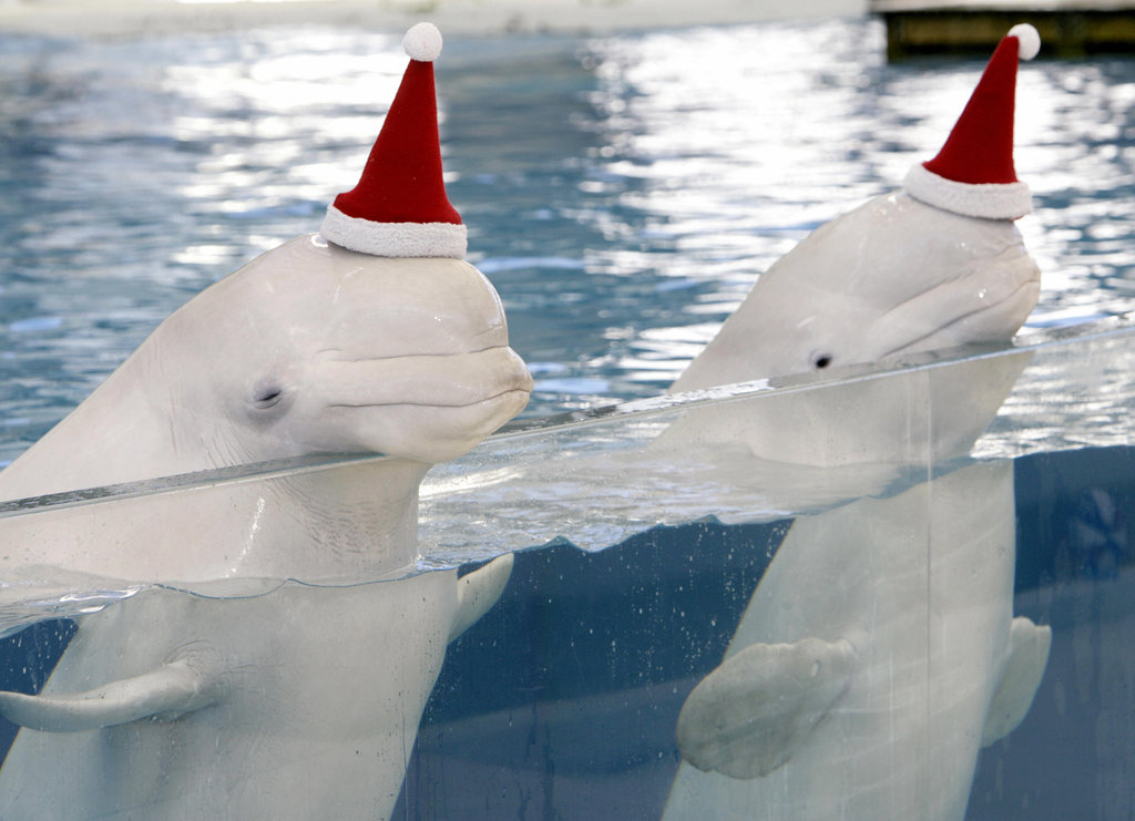 Two belugas don Santa hats.