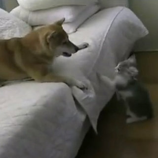 Cute Video of Dog and Cat Playing on Couch
