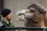 Say it, don't spray it! A keeper gets more than he bargained for from an impatient camel.