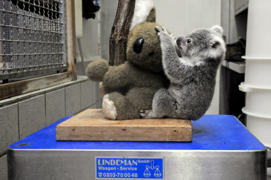 At the Duisburg Zoo in Germany, a koala cuddles with a fuzzy friend during his weigh-in.