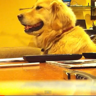 Cute Video of Golden Retriever Dog Listening to Music
