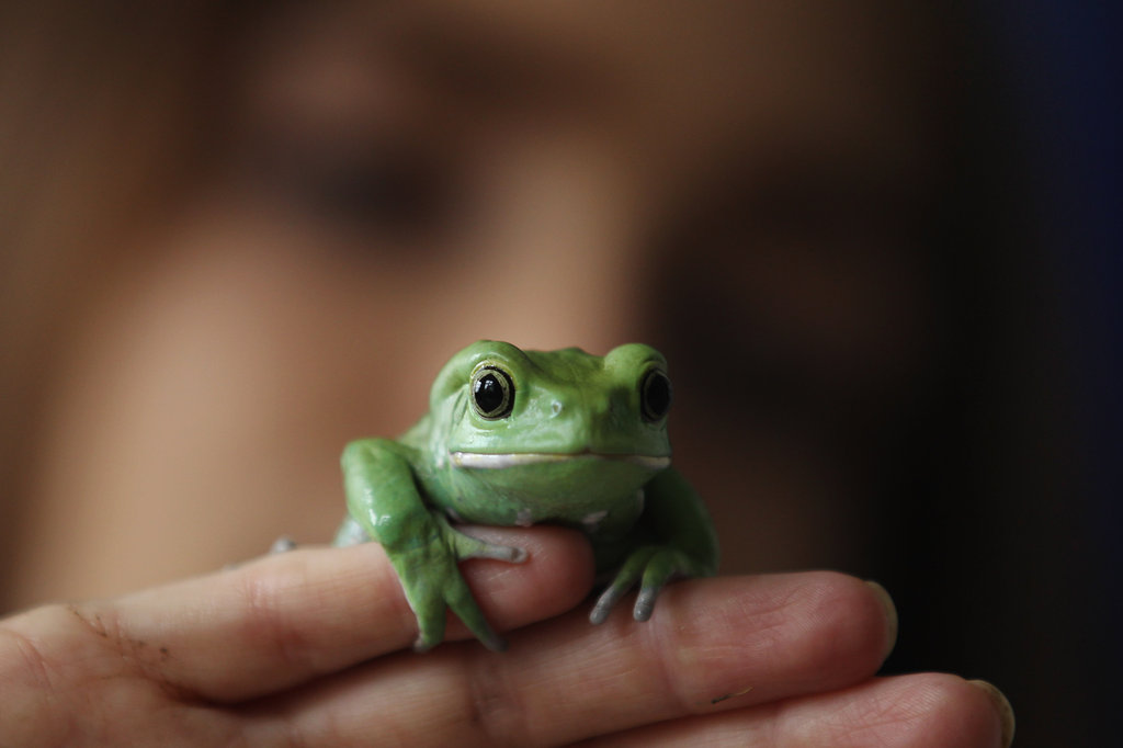 This waxy tree frog seems just as comfortable perched on human fingers as he does on a branch.