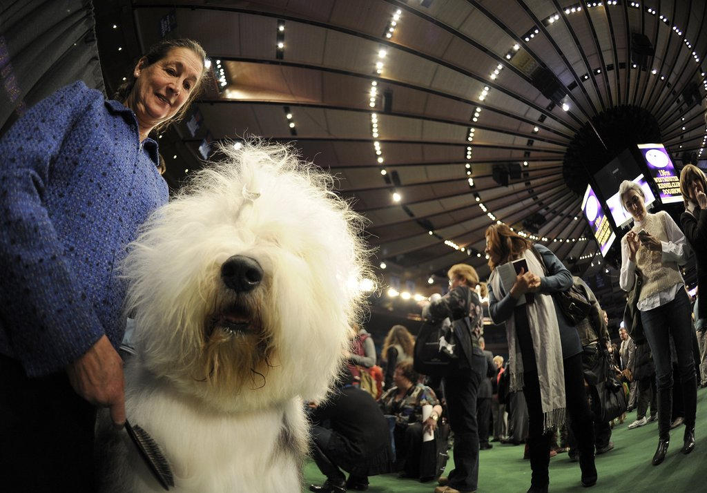 Nikki, an Old English Sheepdog, patiently waits with a handler.