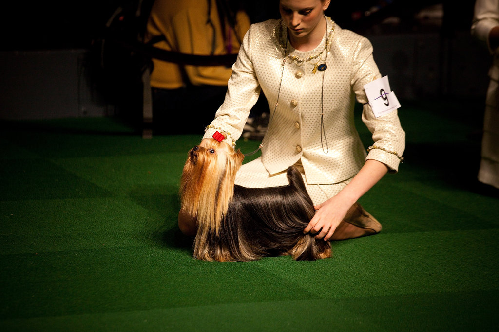 Yorkie Tucker competes in the Junior Showmanship preliminaries with a young human competitor.