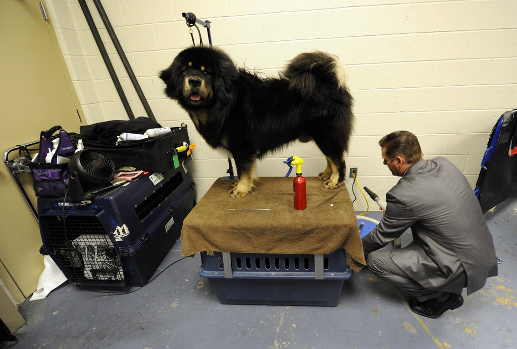 Tibetan Mastiff Major spiffs up before his turn in the ring.