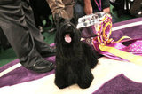 Scottish Terrier: Eight