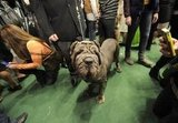 Trinity, a Neopolitan Mastiff, waits to enter the ring.