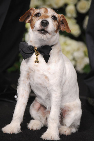 For the Oscars, Uggie wore a golden Chopard tag on a satin bow. The collar will be auctioned, with proceeds benefiting The Amanda Foundation, an animal rescue organization. Source: Wire Image