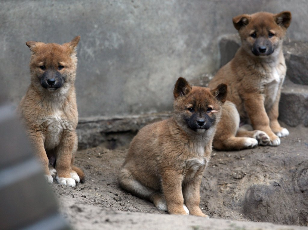 these baby dingoes born at berlin s tierpark