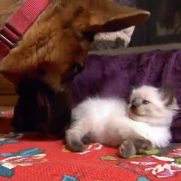 Cute Video of Ragdoll Kitten Befriending German Shepherd Dog