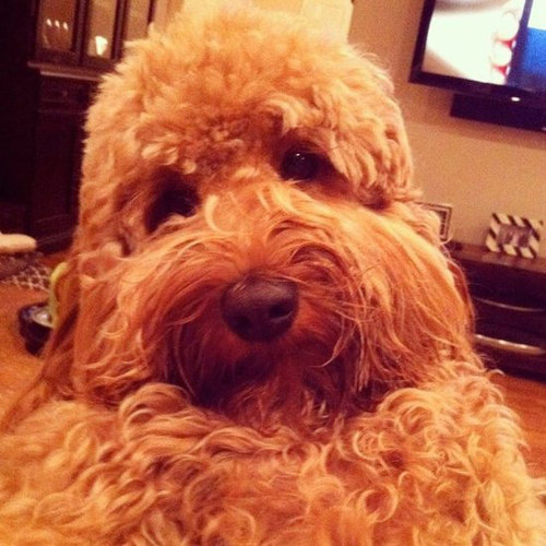 Labradoodle-Do!