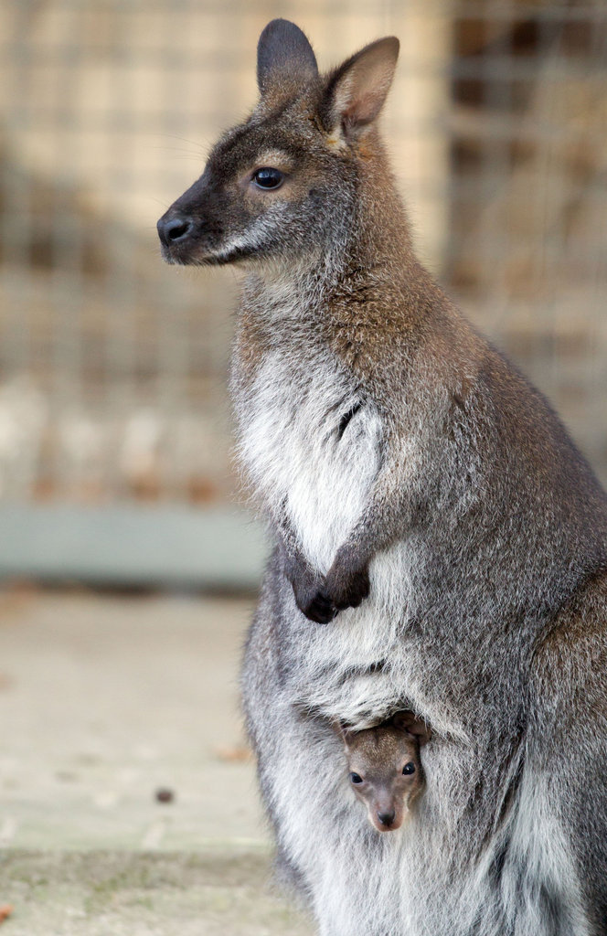 It's cold in Muenster, Germany! This joey snuggles into his mama's pouch to keep warm.