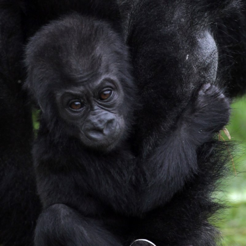 Cute Baby Gorilla Kukena at Bristol Zoo Pictures