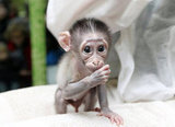 This little Mangabey monkey is thumb-suckingly cute!