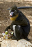 A Barbary monkey perches on a rock to enjoy a frozen fruit salad in Jerusalem.