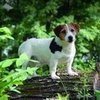 Russell Terriers: the American Kennel Club&#039;s 175th Breed