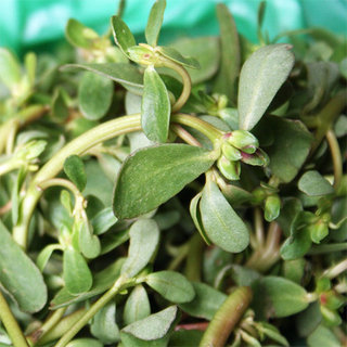 What Is Purslane?