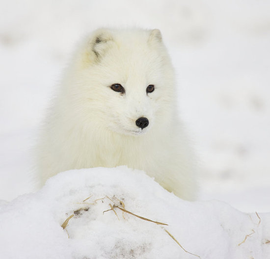 Winter Arctic Fox