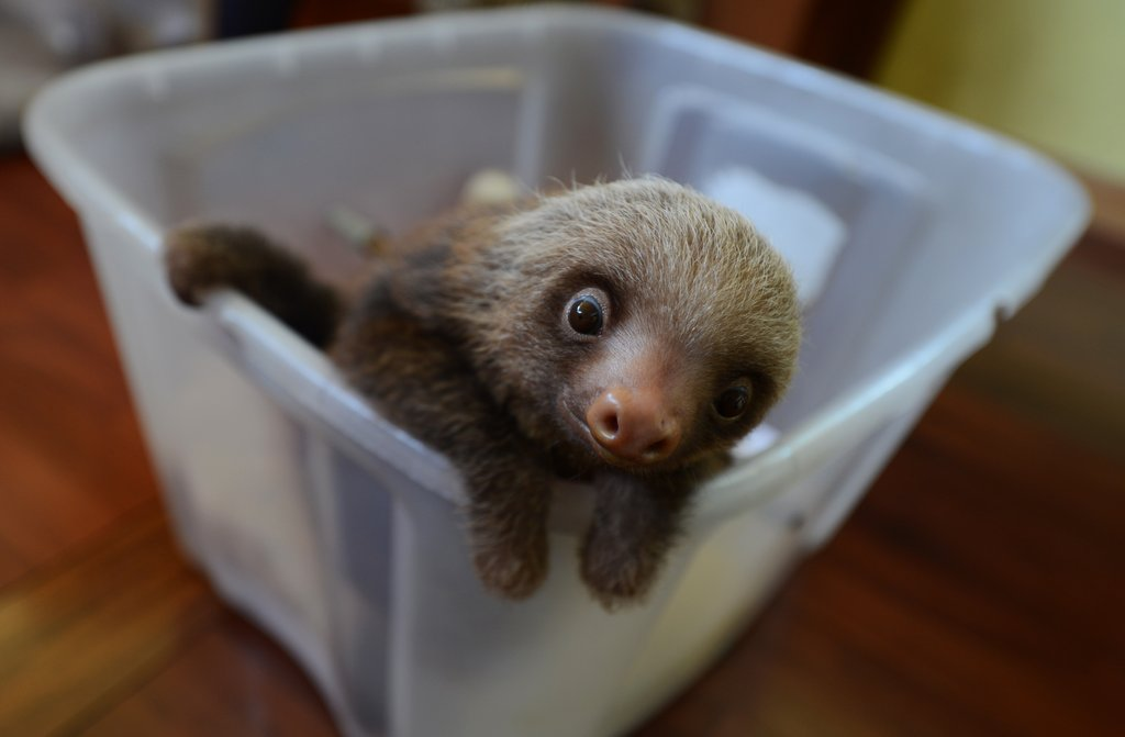 This baby two-toed sloth at the Penshurt, Costa Rica, Sloth Sanctuary hopes to make a great — but slow — escape.