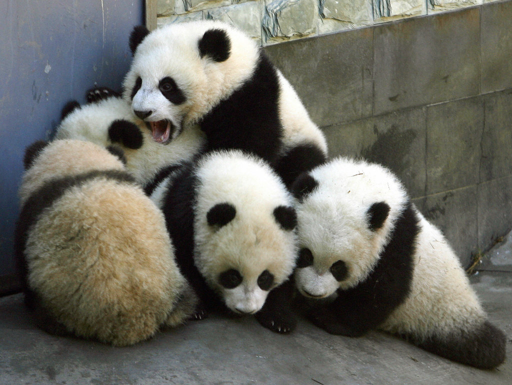 It's a baby panda scrum!