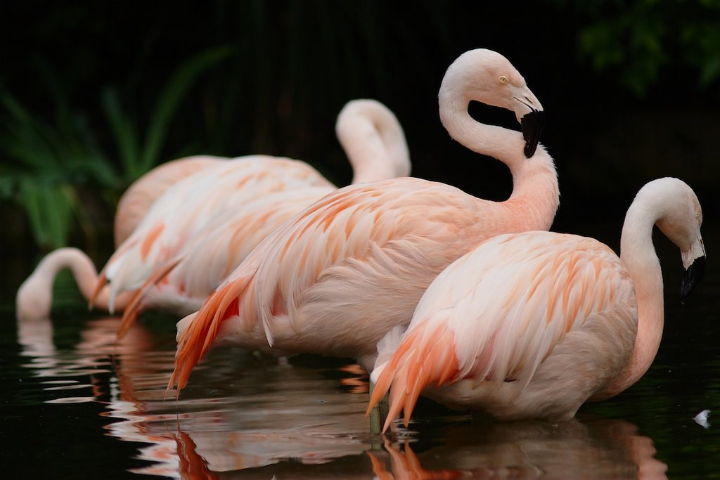 Flamingos are strong swimmers and flyers but prefer wading. The birds are also monogamous and lay only a single egg each year. Source: Flickr user bendus