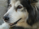 ShopStyle's Sarah Nickel shared a photo of her beautiful dog, Cora, who is an Alaskan Malamute.