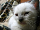 Siamese kittens are born white with markings developing around four weeks of age. A heat-sensitive gene causes the coloring to develop on the cooler parts of the body, which is the result of a partial albinism gene. And Siamese cats darken as they age, showing a difference in coloring as the cat grows through adulthood. Source: Flickr user BlackZero_007