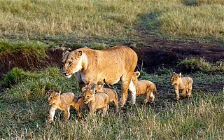 Lioness Sets World Record for Biggest Litter...While on the Pill! (PHOTOS)