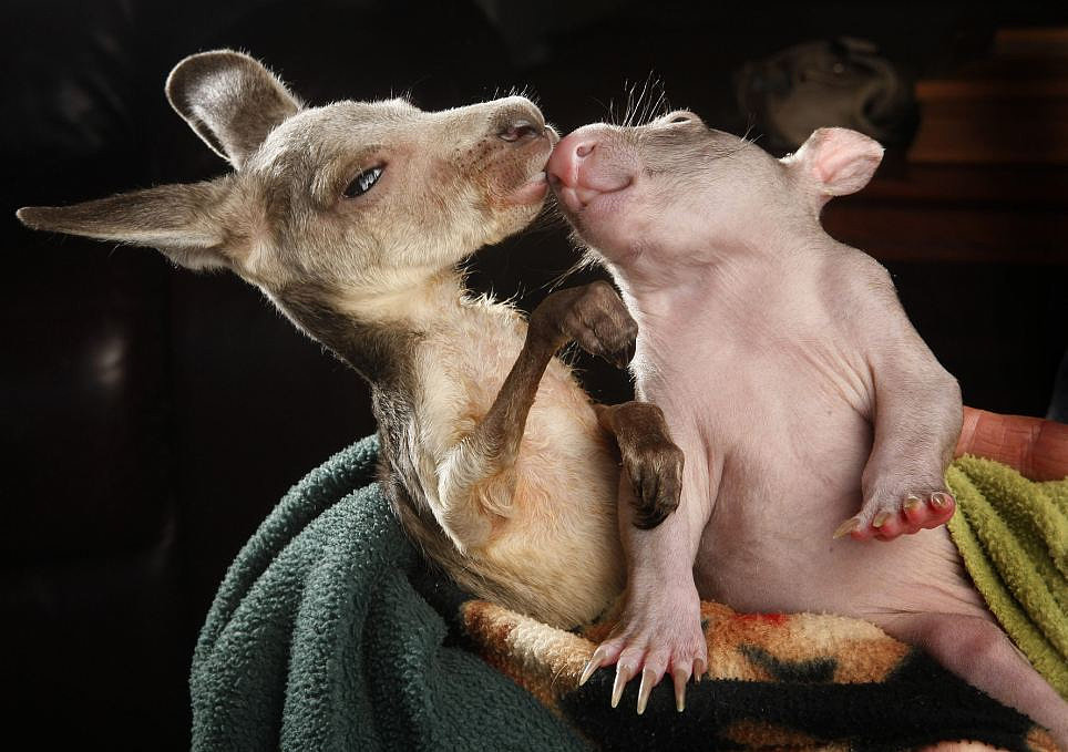 Love Down Under! This baby kangaroo immediately took to this baby wombat after they were both sadly orphaned — but now they have each other! Source: Flickr user grindrproduct