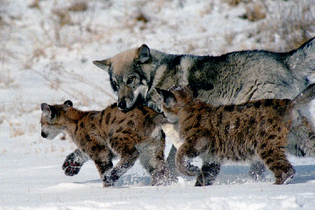 It can be cold out there in the wild, but sometimes animals just want to play, like these mountain lion cubs and their wolf buddy.  Source: Flickr user MVerb48797