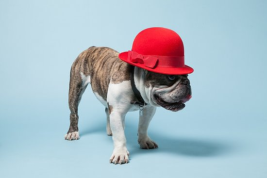 This is Papillon, a British bulldog, who has a penchant for punchy chapeaus.  Photo courtesy of Avenue32