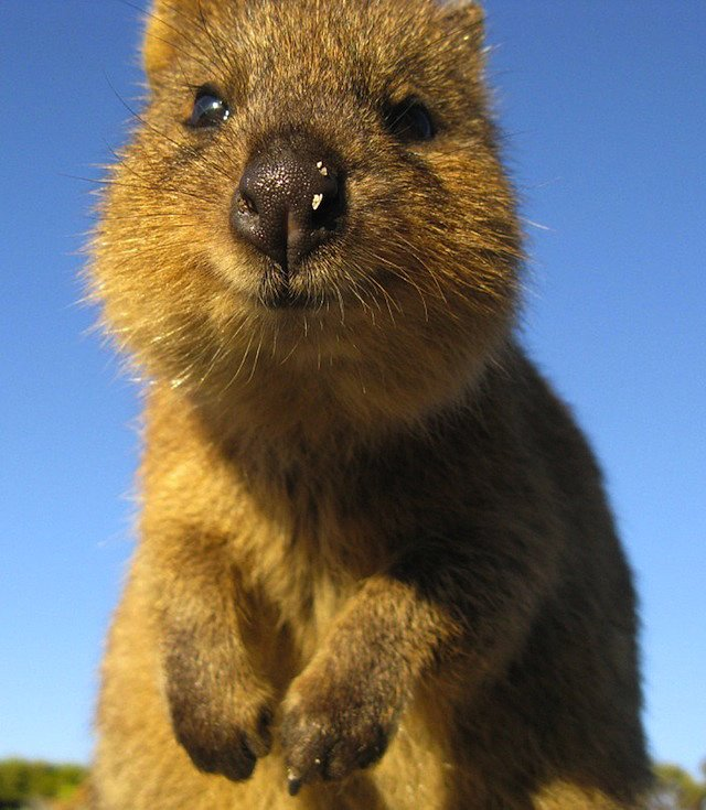 Quokkas are about the size of a domestic cat and extremely friendly, making them our new fantasy pets. Source: Tumblr user Let's Get Science-y