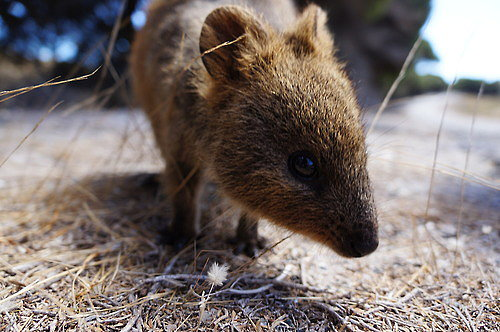 Quokkas live among tall grasses and shrubs, organized in family groups led by a male, and become active at night, gathering in large social groups. Source: Tumblr user すごろく語録
