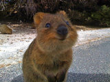 """Quokkas are classified as """"vulnerable,"""" according to the International Union For Conservation of Nature. Humans, take note: we can always do something to help keep the world a smilier place.  Source: Tumblr user Her Middle Name Was Boom"""