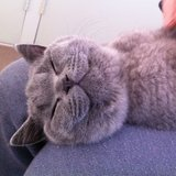 This cat's so happy to have a lap to sit on. Source: Instagram user tofuthebritishshorthair