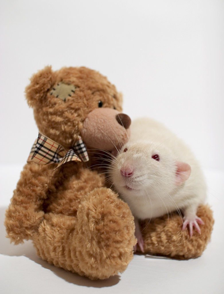 This rat loves his friend. Source: Flickr user AlexK100