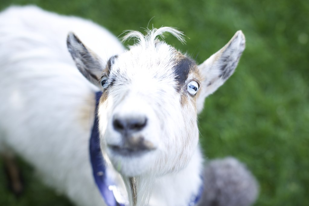 A Hungry Goat