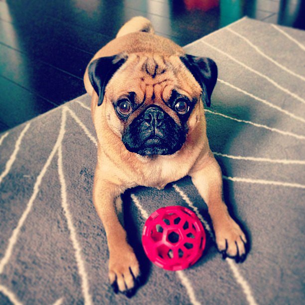 Why so sad, Charlie? Is it because you've been bitten by the wanderlust bug and you just can't shake it? We feel your pain. Source: Instagram user wanderlustpug