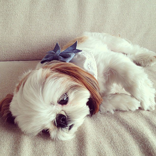 There's actually nothing sweeter than Shihtzu-Chihuahua mix Iriko. That's a fact. Source: Instagram user hana_uoj