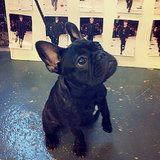 Rag & Bone waited on a Frenchie to decide which runway look was his favorite. Source: Instagram user rag_bone