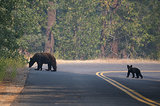 A bear and a cub crossed the street near the Rim Fire.