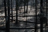 Burned trees covered the ground after being consumed by the Rim Fire.
