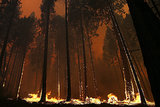 Flames made their way up tree trunks near Yosemite National Park.